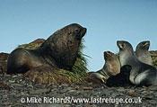 Fur Seal (Arctocephalus gazella) 1 male, 2 females and pup, South Georgia