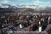 King Penguin (Aptenodytes patagonicus) Colony , South Georgia