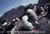 Macaroni Penguins (Endyptes chrysolophus), South Georgia