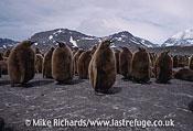 King Penguins (Aptenodytes patagonicus) Chicks, South Georgia