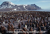 King Penguin (Aptenodytes patagonicus) Colony, South Georgia
