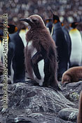 King Penguin (Aptenodytes patagonicus) Baby, South Georgia