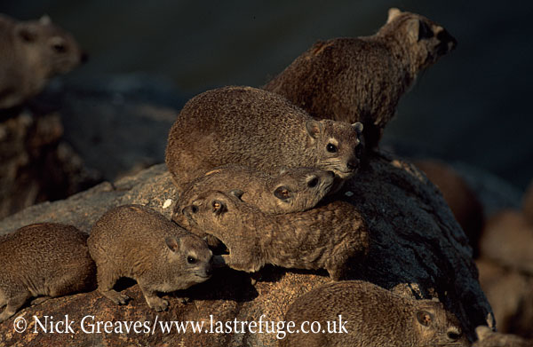 Rock Dassies or Hyrax, Procavia capensis, Hwange National Park, Zimbabwe