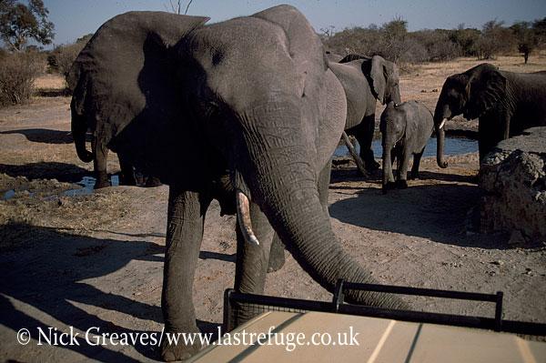 African Elephant (Loxodonta africana), Elephant Cow, Hwange Safari Lodge, Zimbabwe