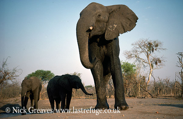 African Elephant (Loxodonta africana), Elephant Cow and two calves, Hwange Safari Lodge, Zimbabwe