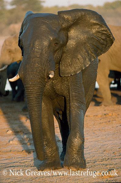 African Elephant (Loxodonta africana), wet Bull after bath, Hwange National Park, Zimbabwe