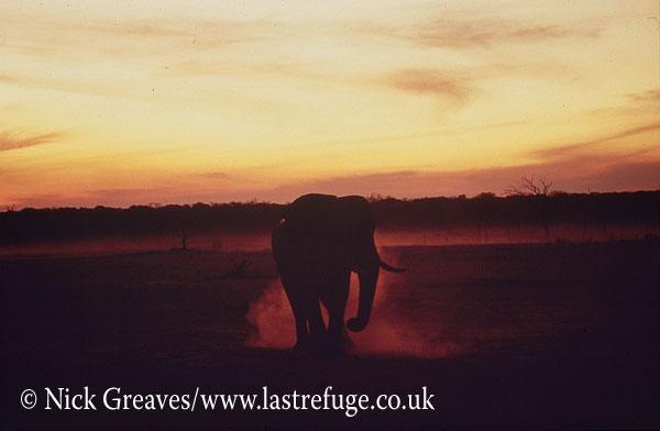 African Elephant (Loxodonta africana), Bull dusting, Hwange National Park, Zimbabwe