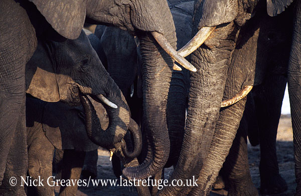 African Elephant (Loxodonta africana), calf at salt lick, in herd, Hwange National Park, Zimbabwe