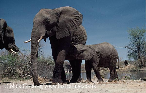 African Elephant (Loxodonta africana), cow and suckling calf, Hwange National Park, Zimbabwe