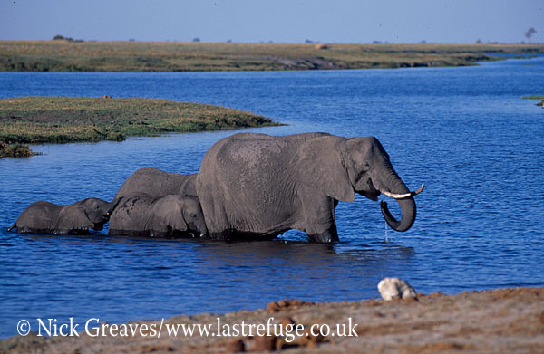 African Elephant (Loxodonta africana), breed herd in River, Chobe National Park, Botswana