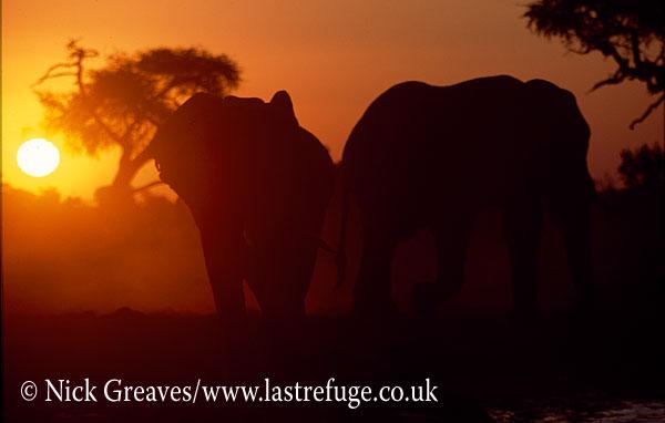 African Elephant (Loxodonta africana), bull at sunset, Savuti , Chobe National Park, Botswana