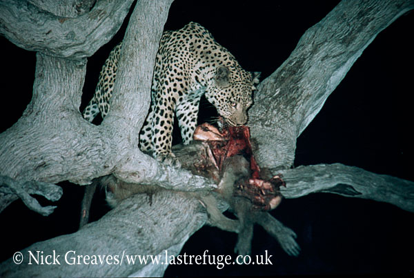 Leopard with Baboon kill in tree, Panthera pardus, Moremi Game Reserve National Park, Botswana