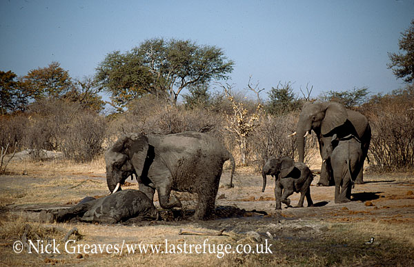 African Elephant (Loxodonta africana), herd with cows and calves, cow tried to wake darted calf , Hwange National Park, Zimbabwe