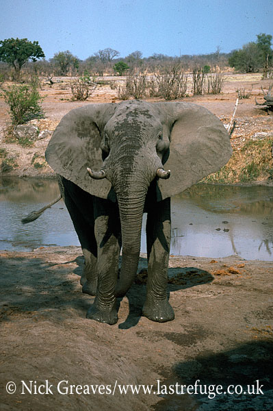 African Elephant (Loxodonta africana), bull standing tall, by river, Hwange National Park, Zimbabwe