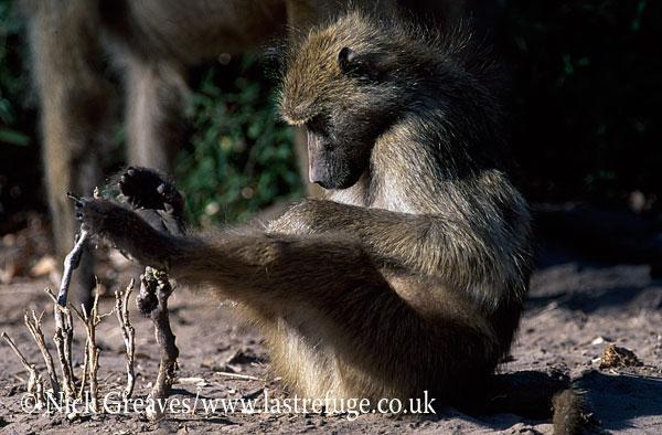 Chacma Baboon grooming, Papio ursinus, Chobe National Park, Botswana