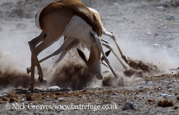 Springbok sparring, Antidorcas marsupialis, Nxai Pan Game Reserve, Botswana