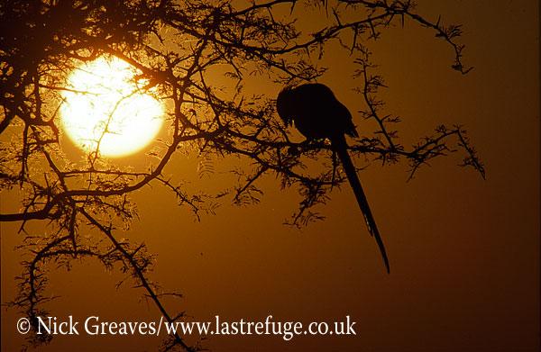 Longtailed Shrike at sunrise, Corvinella melanoleuca, Hwange National Park, Zimbabwe