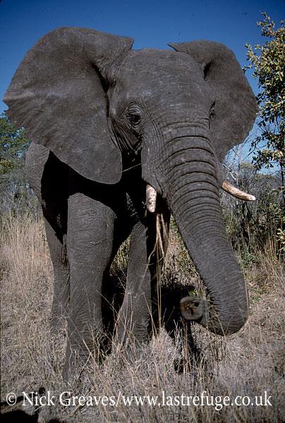 African Elephant (Loxodonta africana), bull, Moremi Game Reserve, Okavango Delta, Botswana.