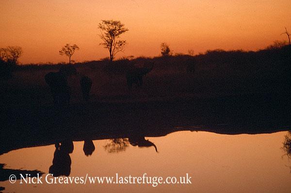 African Elephant (Loxodonta africana), reflections, Moremi Game Reserve, Okavango Delta, Botswana.