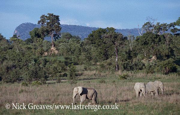 African Elephant (Loxodonta africana), herd feeding in Vlei, Moremi Game Reserve, Okavango Delta, Botswana.