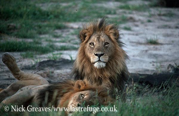 Lion brothers, Panthera leo, Hwange National Park, Zimbabwe