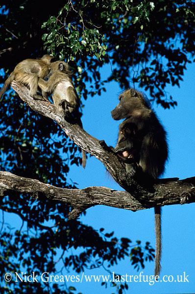 Chacma Baboon, Papio ursinus, Hwange National Park, Zimbabwe