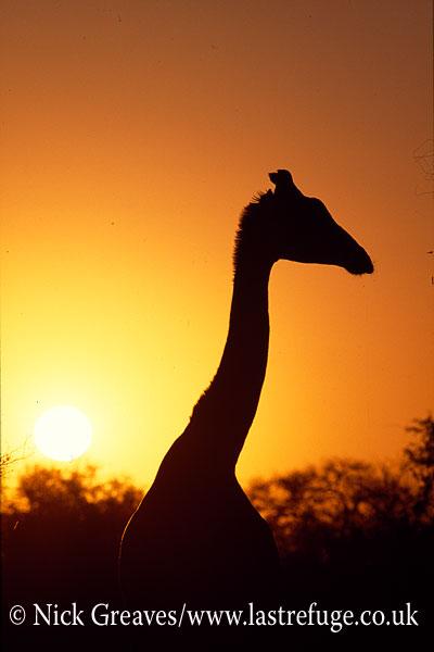 Giraffe silhouette, Giraffa camelopardalis, Linyanti swamps, Botswana