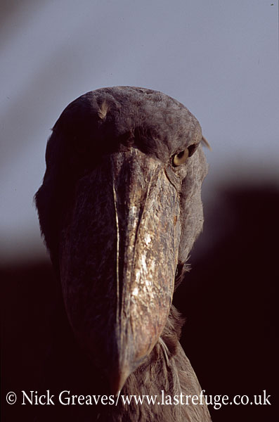 Shoebill portrait, Balaeniceps rex, Entebbe Zoological Gardens, Uganda