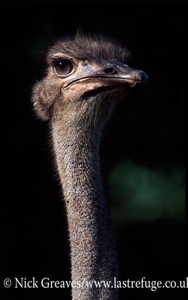 Ostrich female portrait, Struthio camelus, Samanyanga Bubi Valley Conservancy, Zimbabwe