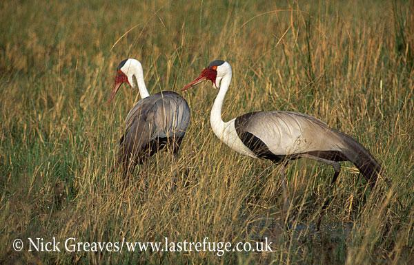 Wattled Crane, Bugeranus carunculatus, Moremi Game Reserve National Park, Botswana