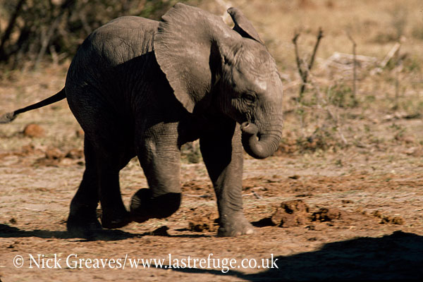 African Elephant (Loxodonta africana), playful calf, Hwange National Park, Zimbabwe