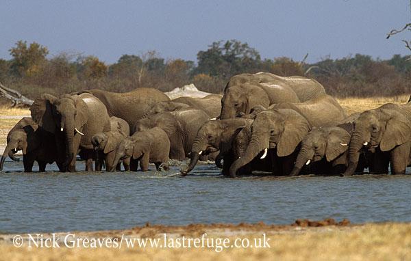 African Elephant (Loxodonta africana), herd drinking at Water Pan, Hwange National Park, Zimbabwe, waterhole
