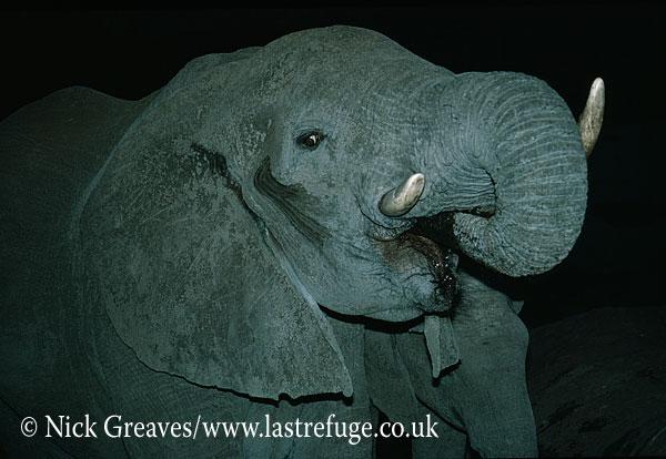African Elephant (Loxodonta africana), drinking at night, Hwange National Park, Zimbabwe