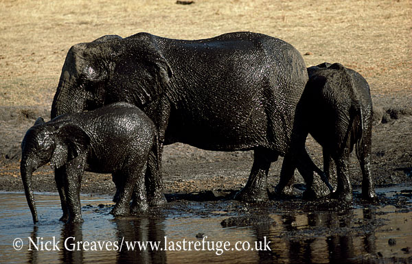 African Elephant (Loxodonta africana), shiny mud bath, cow and two calves, Hwange National Park, Zimbabwe
