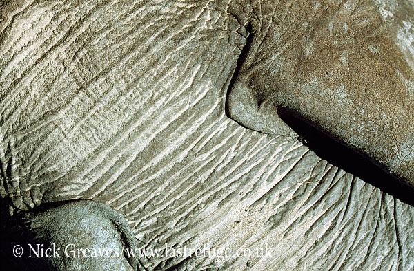 African Elephant (Loxodonta africana), hide, skin, close up, Hwange National Park, Zimbabwe, close-up