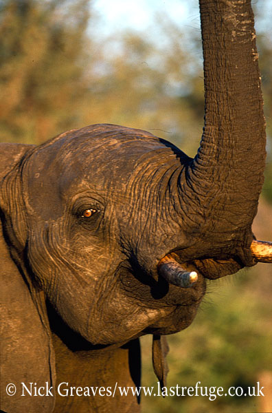 African Elephant (Loxodonta africana), cow with raised trunk, Hwange National Park, Zimbabwe