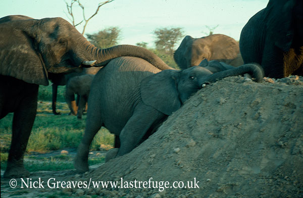 African Elephant (Loxodonta africana), herd relaxing, Hwange National Park, Zimbabwe