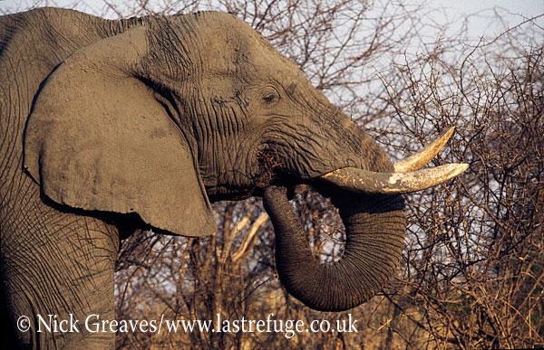 African Elephant (Loxodonta africana), bull feeding on thorns, Hwange National Park, Zimbabwe