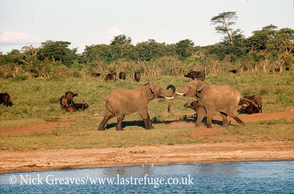 African Elephant (Loxodonta africana), bulls sparring, Hwange National Park, Zimbabwe