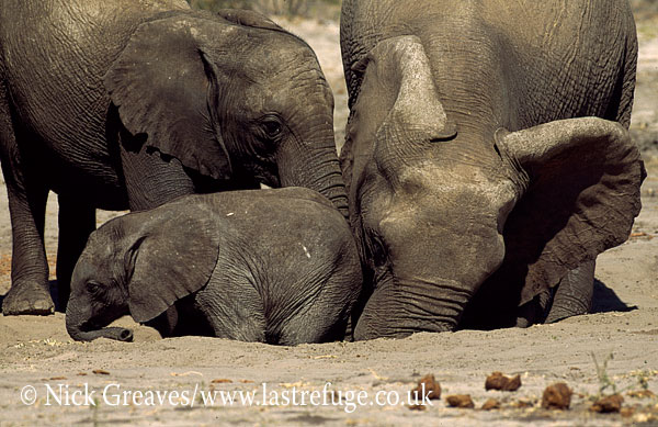 African Elephant (Loxodonta africana), herd with calf digging for salts, Hwange National Park, Zimbabwe