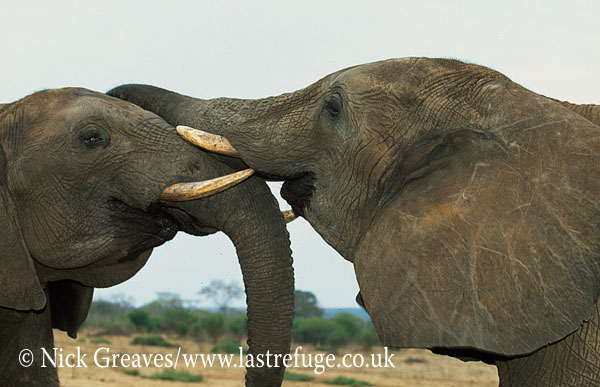 African Elephant (Loxodonta africana), bulls sparring, Moremi Game Reserve, Okavango Delta, Botswana.