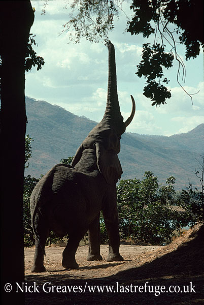 African Elephant (Loxodonta africana), feeding on Winter Thorn Pods, Mana Pools National Park, Zimbabwe