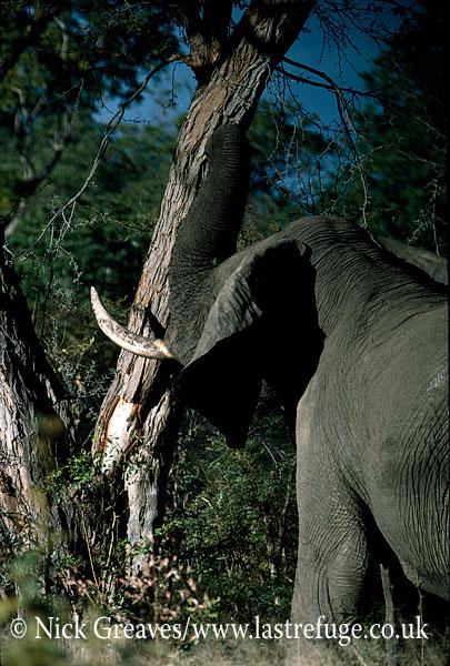 African Elephant (Loxodonta africana), bull shaking tree, Zambezi National Park, Zimbabwe