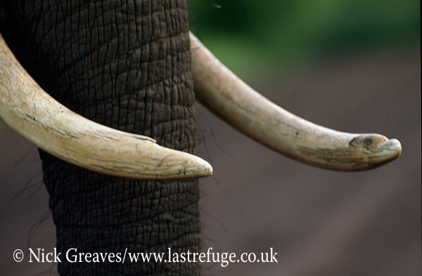 African Elephant (Loxodonta africana), tusks (ivory) close up, Hwange Safari Lodge, Zimbabwe, close-up