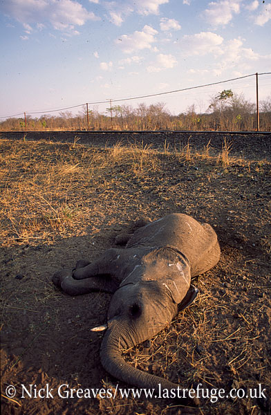 African Elephant (Loxodonta africana), calf killed by train, Hwange National Park, Zimbabwe
