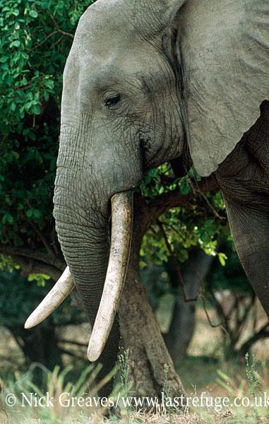 African Elephant (Loxodonta africana), bull with big tusks, Mana Pools National Park, Zimbabwe