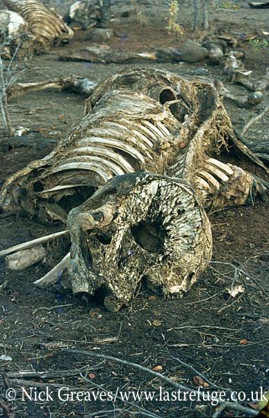 African Elephant (Loxodonta africana), skeleton with brain cavity, Gonarezhou National Park, Zimbabwe