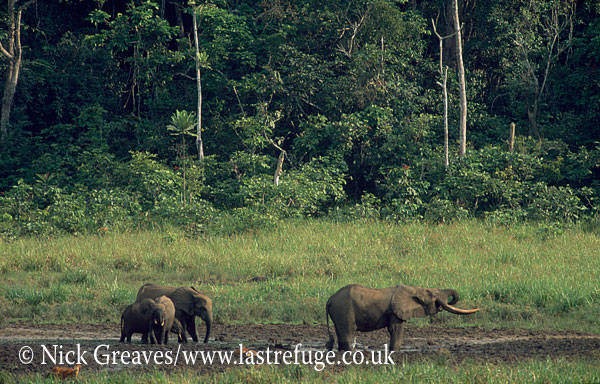 African Forest African Elephant at Langouie Bai, Loxodonta cyclotis, Ivindo National Park, Gabon