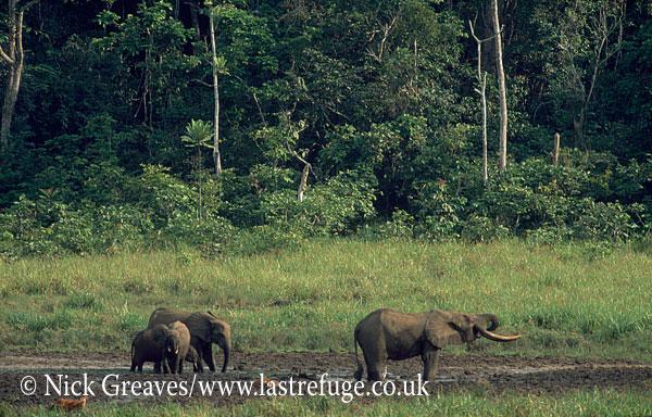 African Forest Elephant (Loxodonta africana cyclotis), Langoue Bai, Ivindo National Park, Gabon