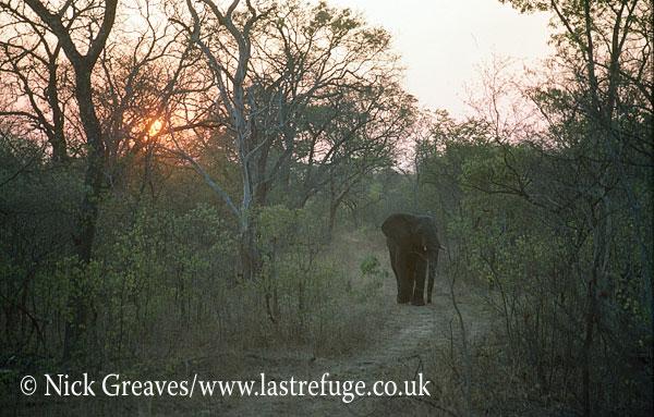 African Elephant (Loxodonta africana), bull in teak forest, Hwange National Park, Zimbabwe